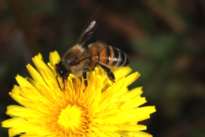 Photo of Bee on Yellow Flower